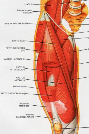 Iliotibial band syndrome the diagram to the right shows the anterior front view of the right thigh muscles if you look towards the top left of the diagram youll see the tensor ccuart Image collections
