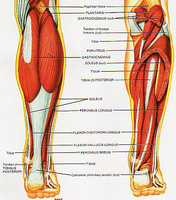 Shin splints as you can see from the diagram to the right there are many muscles and tendons that make up the lower leg or calf region its quite a complex formation ccuart Image collections